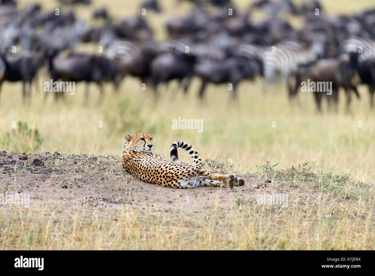 Guepardos salvajes africanos, hermosos animales mamíferos. África, Kenia Imagen De Stock