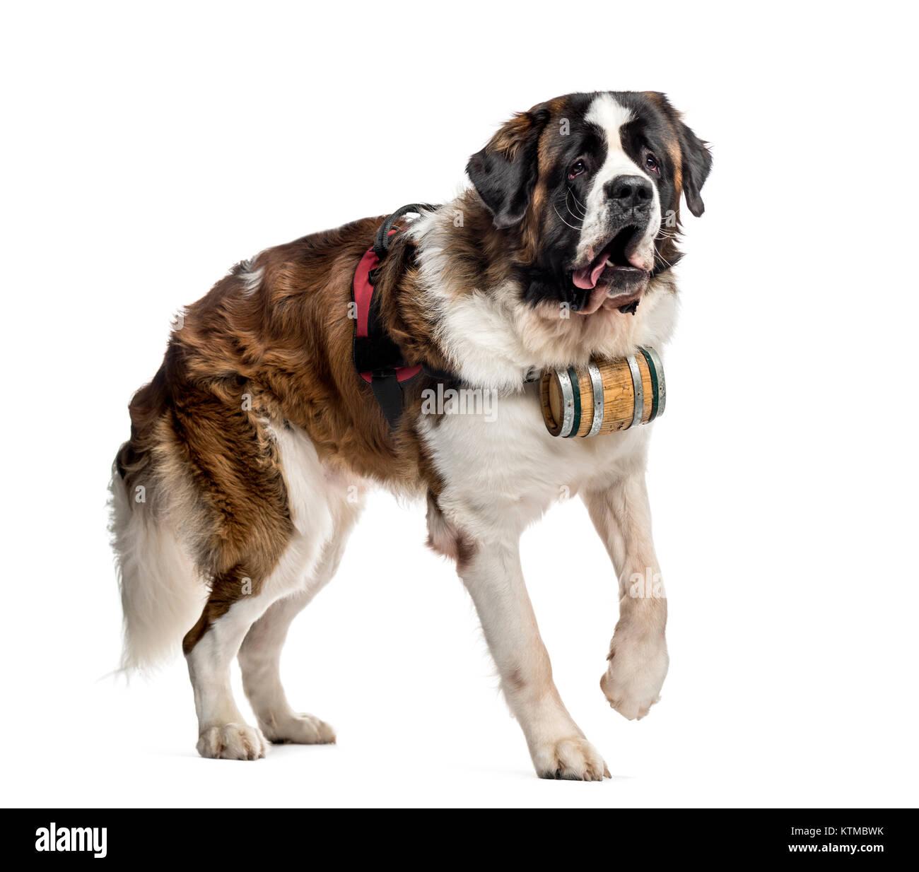 Saint Bernard Dog Barrel Imágenes De Stock & Saint Bernard Dog ...