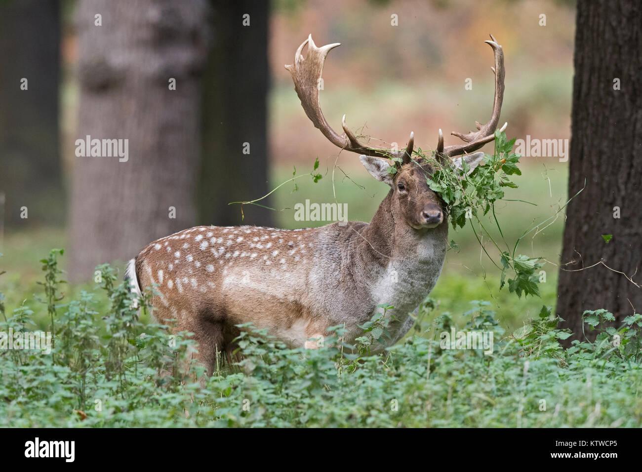 Gamo Dama dama buck en Bushy Park, Londres Octubre Foto de stock