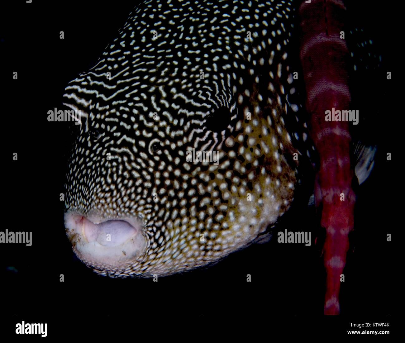PUFFER estrellado (AROTHRON STELLATUS) con China (AULOSTUMUS TRUMPETFISH CHINENSIS nadar junto a Foto de stock