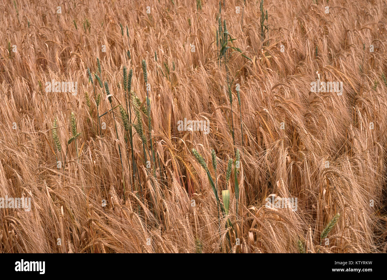 Rogue las plantas de trigo en la cosecha de cebada Imagen De Stock