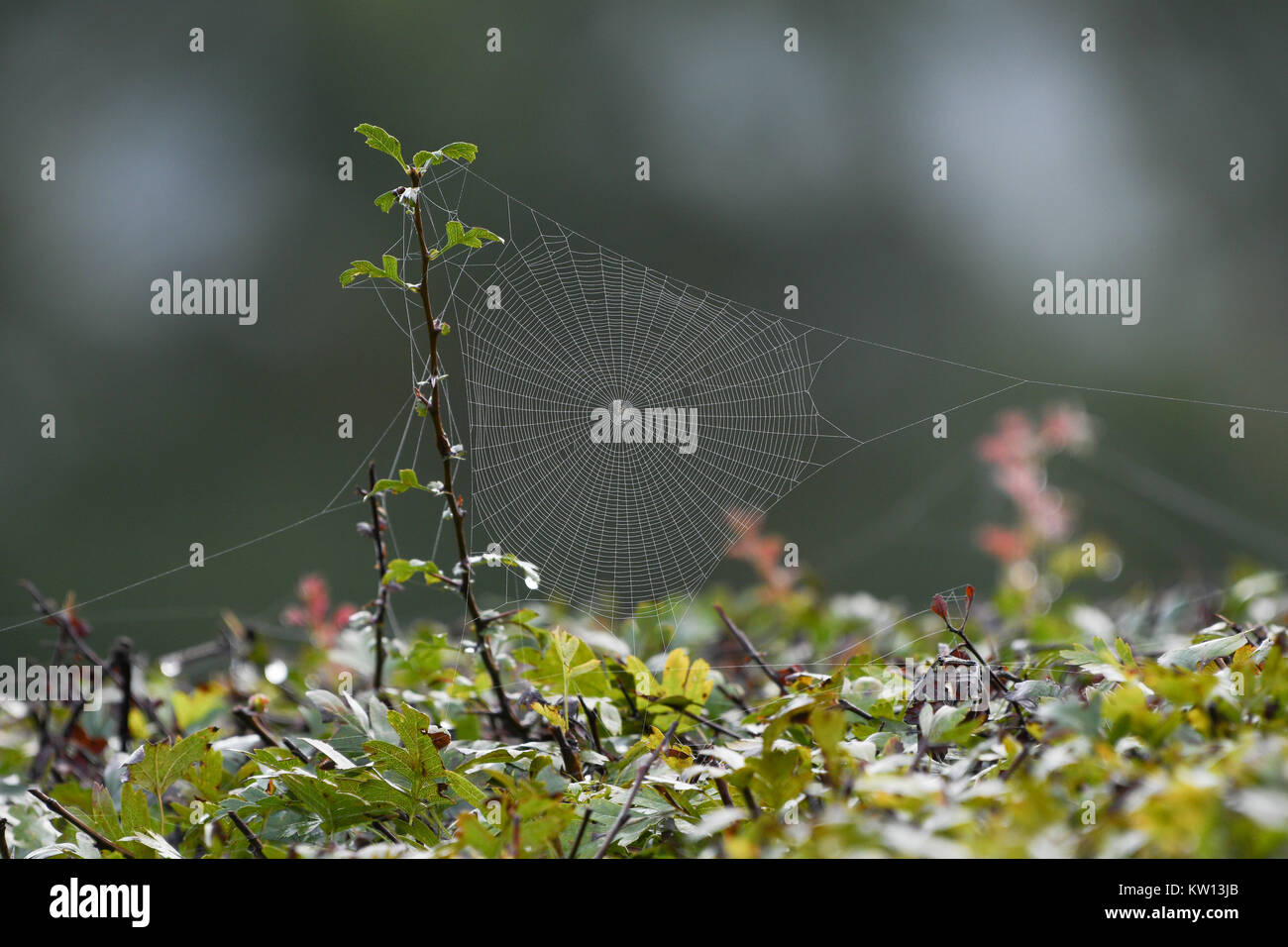 Tela de araña en las moras Imagen De Stock