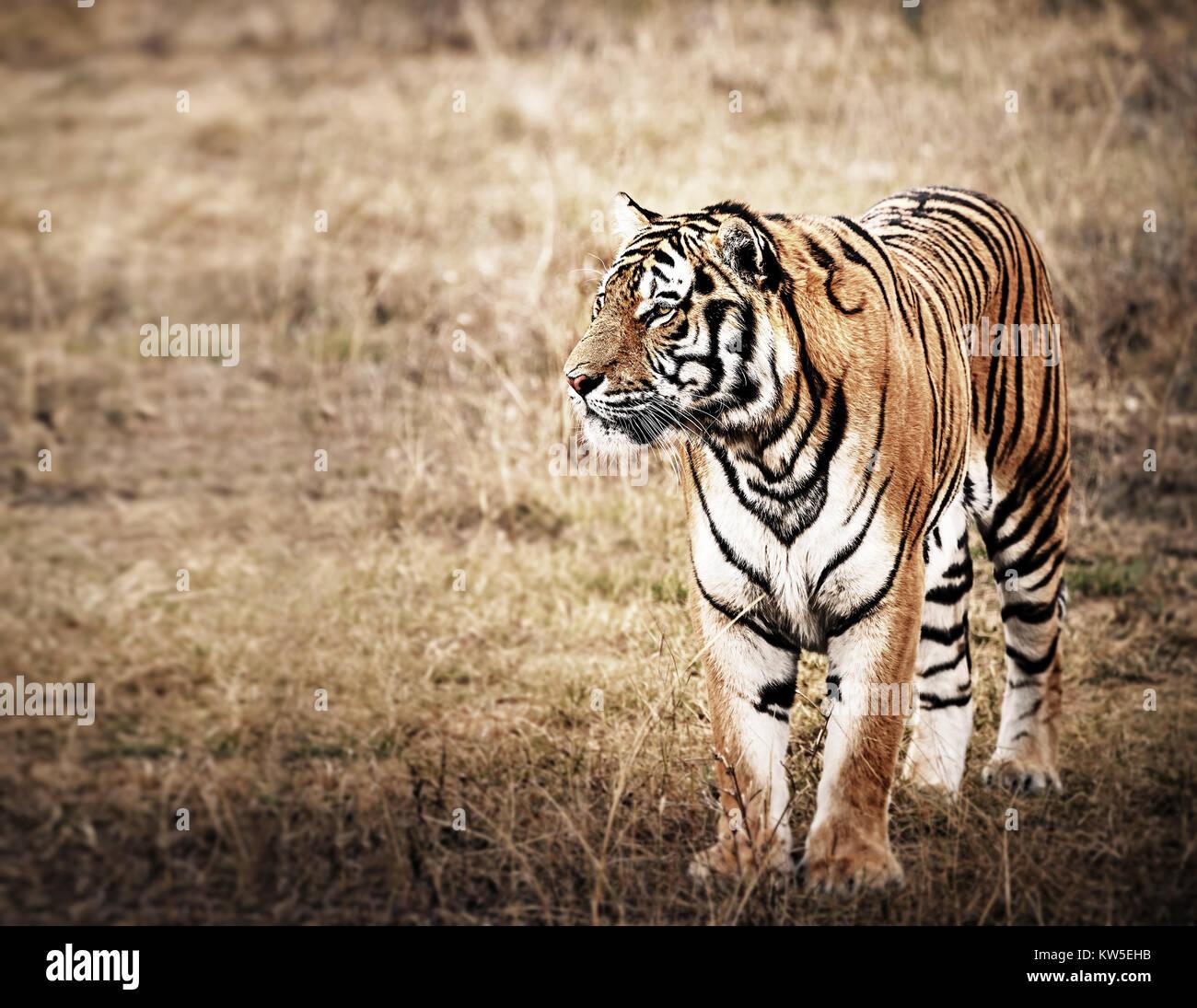Tigre en una hermosa luz dorada Foto de stock
