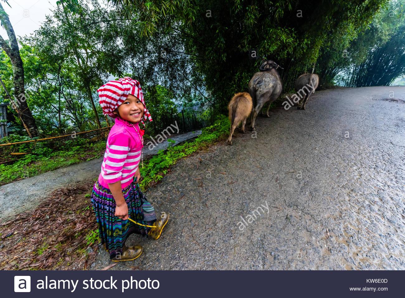 Una flor Hmong (Hill Tribe) chica llevar el ganado a casa para el día en el valle de Muong Hoa, cerca de Sapa, Vietnam Foto de stock