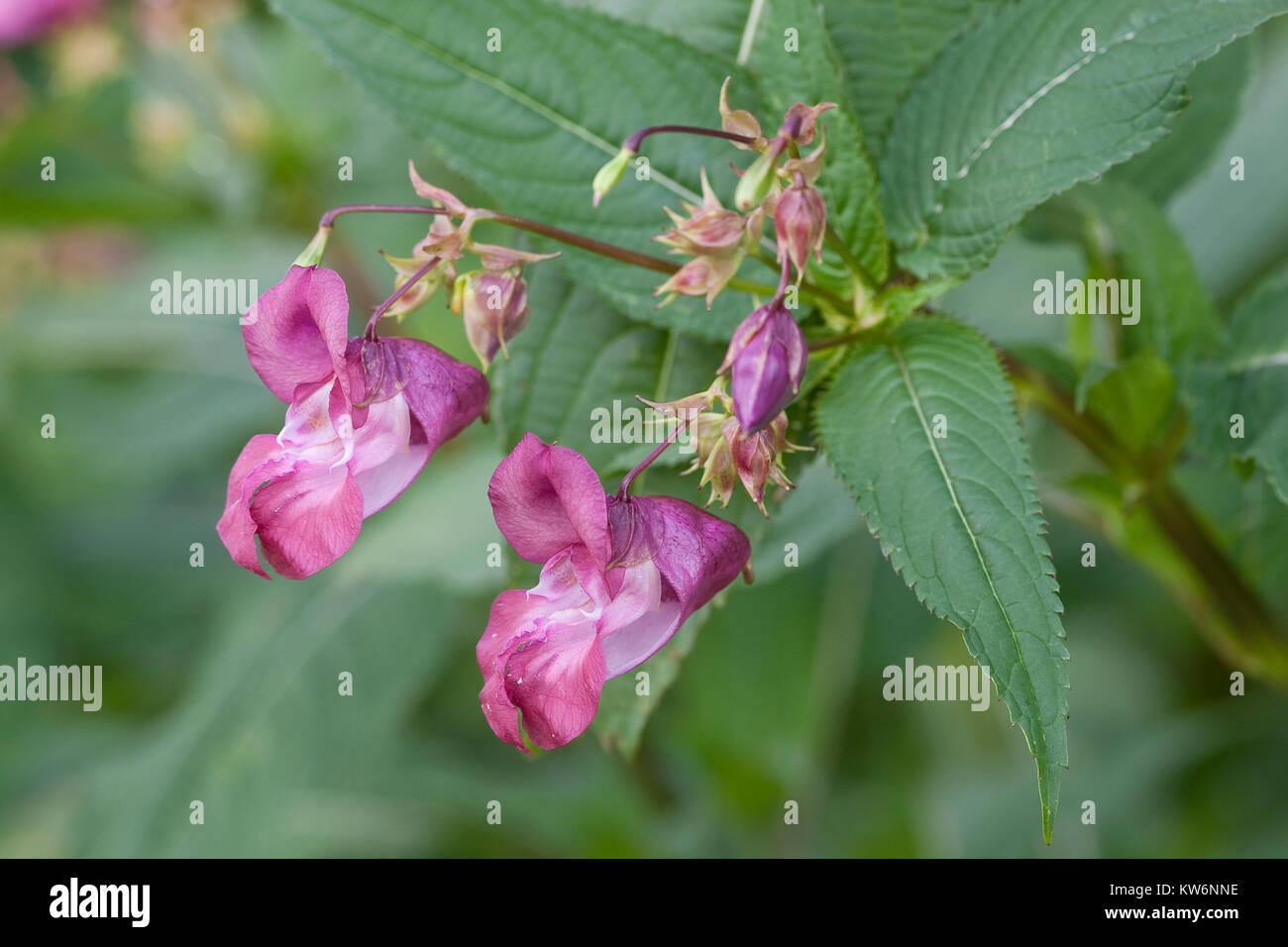 Indisches Springkraut, Drüsiges Springkraut, Impatiens glandulifera, Bálsamo del Himalaya, el casco del policía Foto de stock