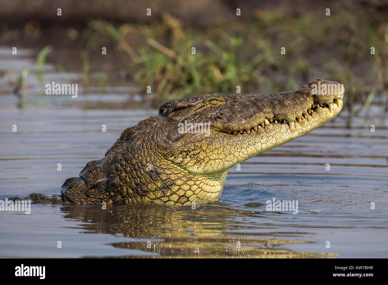 El cocodrilo del Nilo (Crocodylus niloticus), río Chobe, Botswana, septiembre de 2017 Imagen De Stock