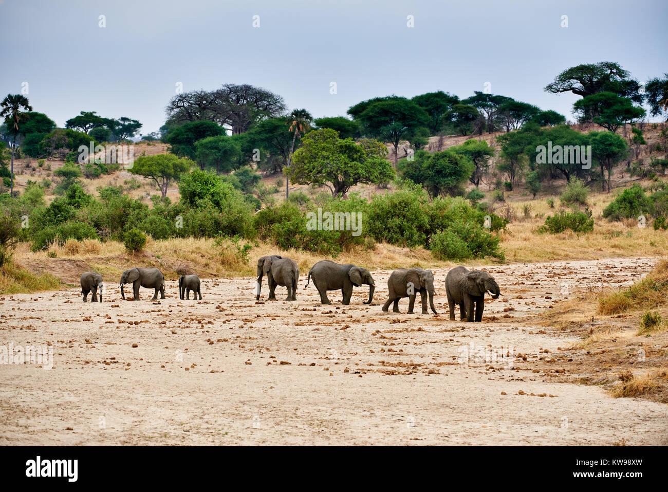 Manada de elefantes bush africano, Loxodonta africana, en el Parque Nacional Tarangire, Tanzania, África Imagen De Stock