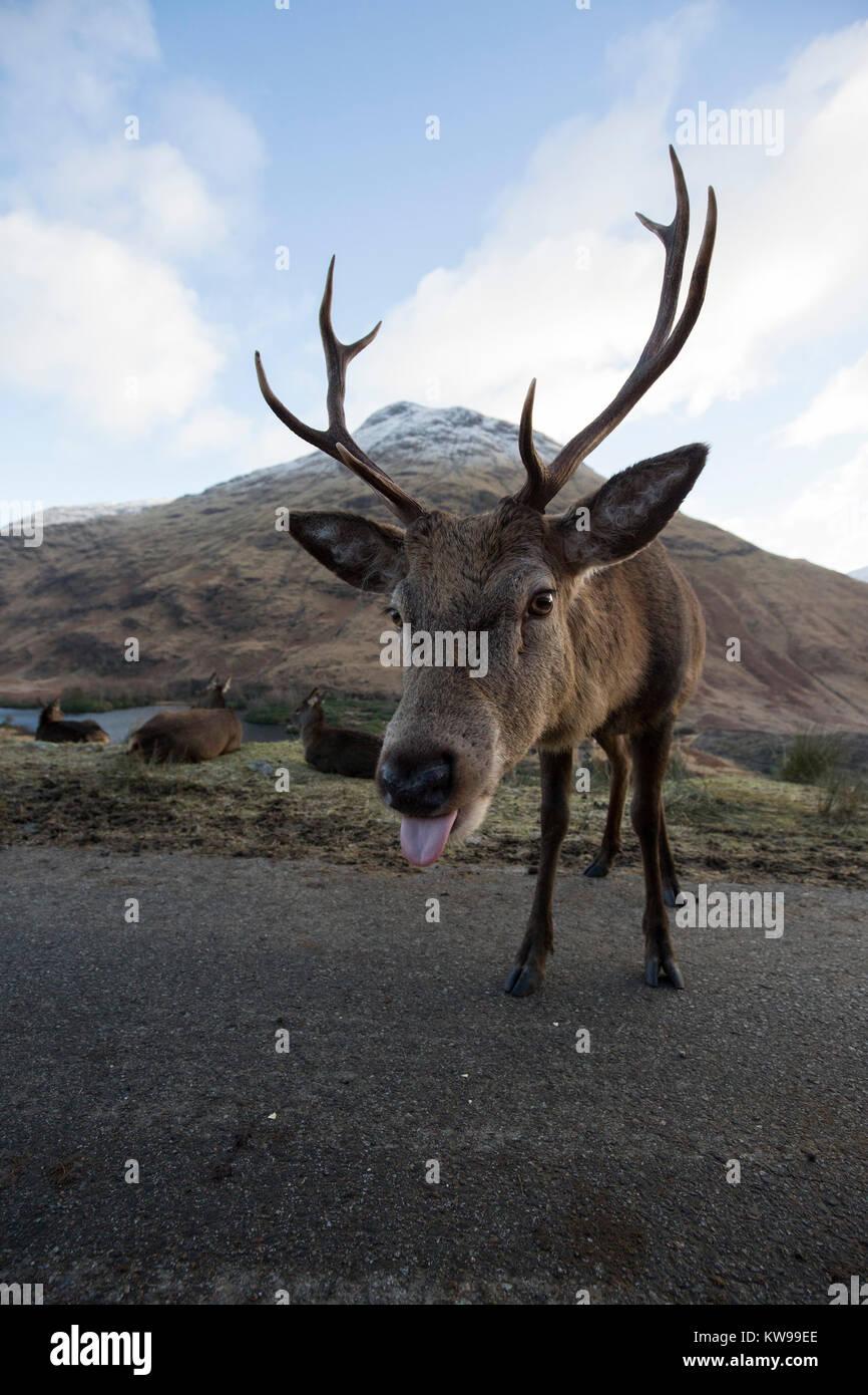 Un simpático ciervo en Escocia Imagen De Stock