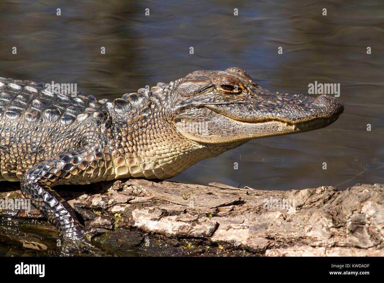 Los jóvenes alligator cerrar Imagen De Stock