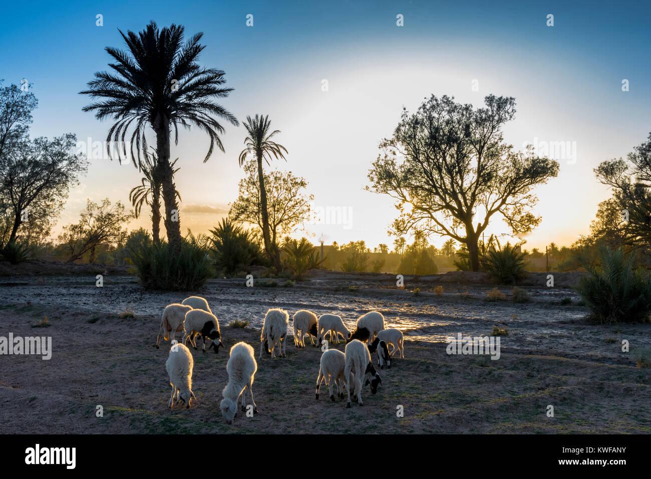 Ovejas pastando en idílicos alrededores de Kasbah al atardecer. Imagen De Stock