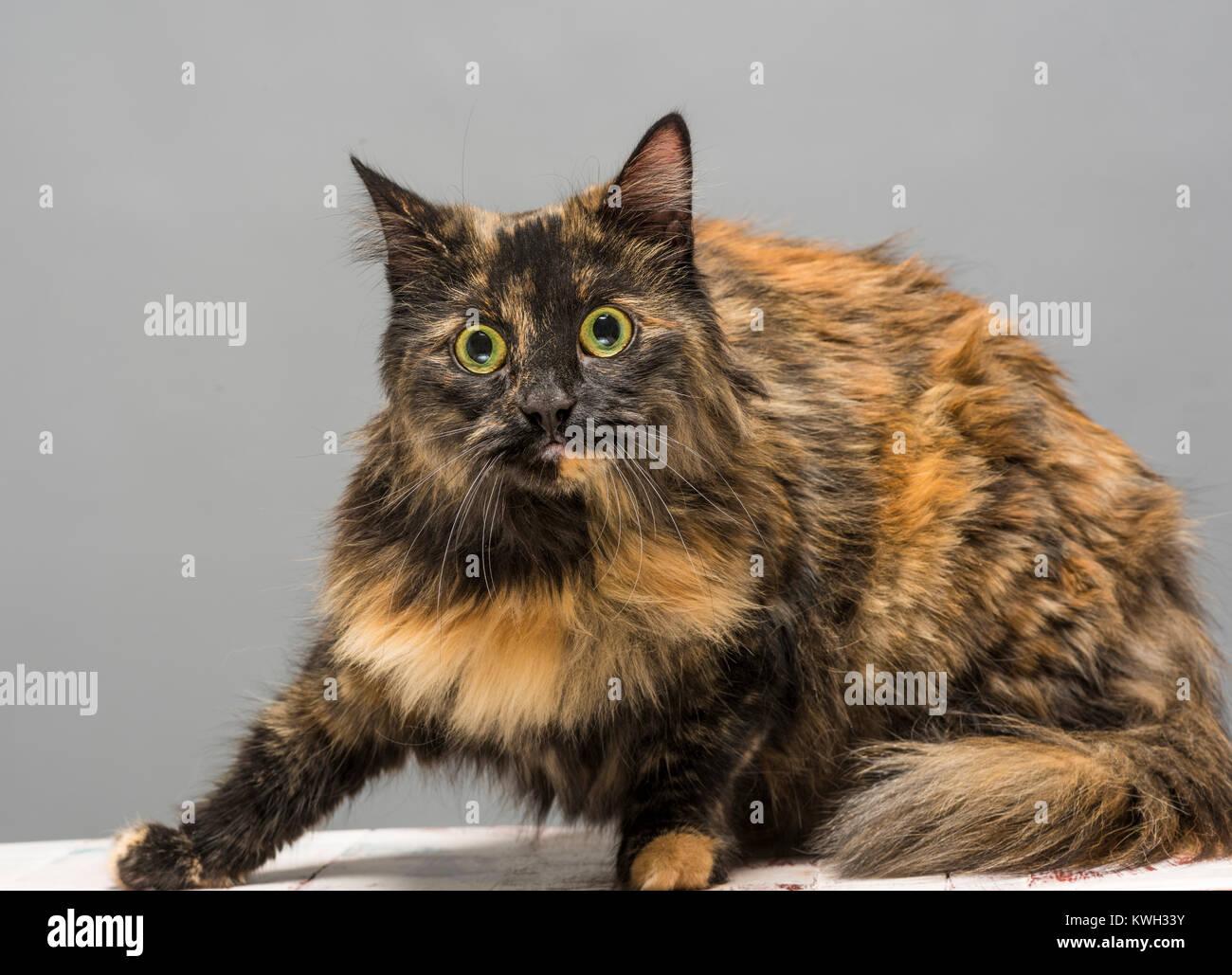 Largo pelaje atigrado gato mirando alerta interno Foto de stock