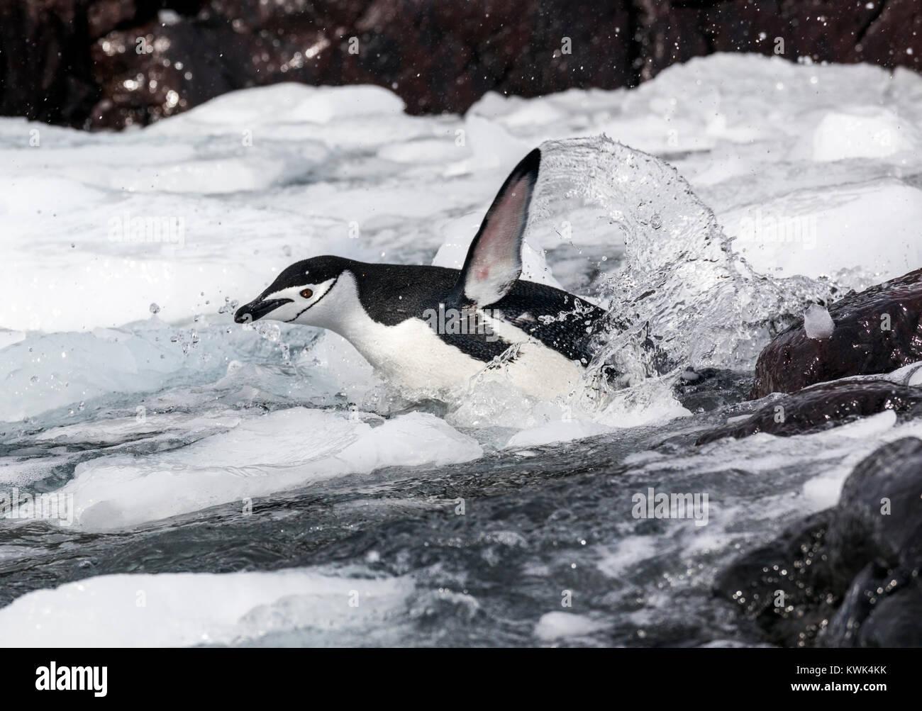 Natación; pingüinos de barbijo (Pygoscelis antarcticus; anillado; pingüinos pingüino barbudo; Imagen De Stock