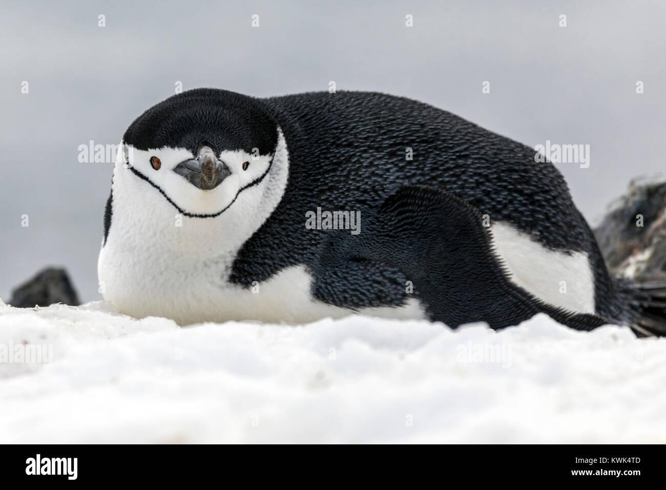 Los pingüinos de barbijo (Pygoscelis antarcticus anillado;;; pingüinos pingüino barbudo; stonecracker Imagen De Stock