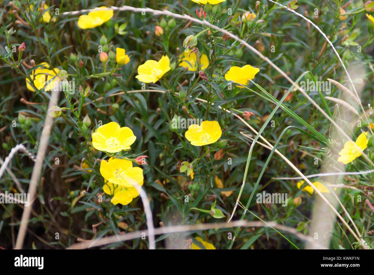 Flores Amarillas Silvestres Florecen En Primavera Sobre La Hierba