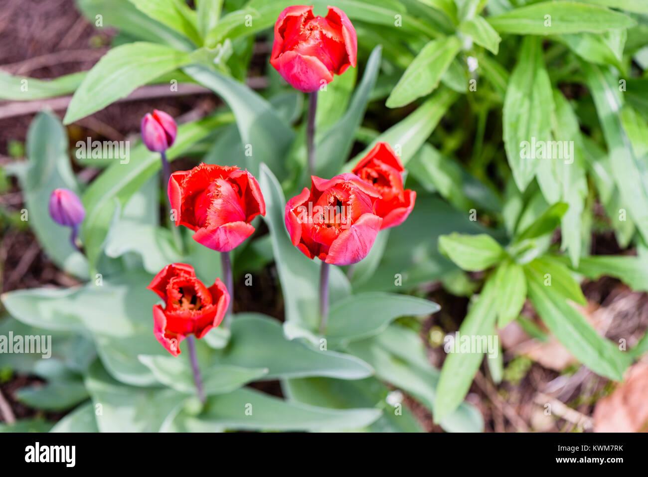 Flores Rojas De Un Tulipan Planta Sobre Un Pedunculo Con Largas