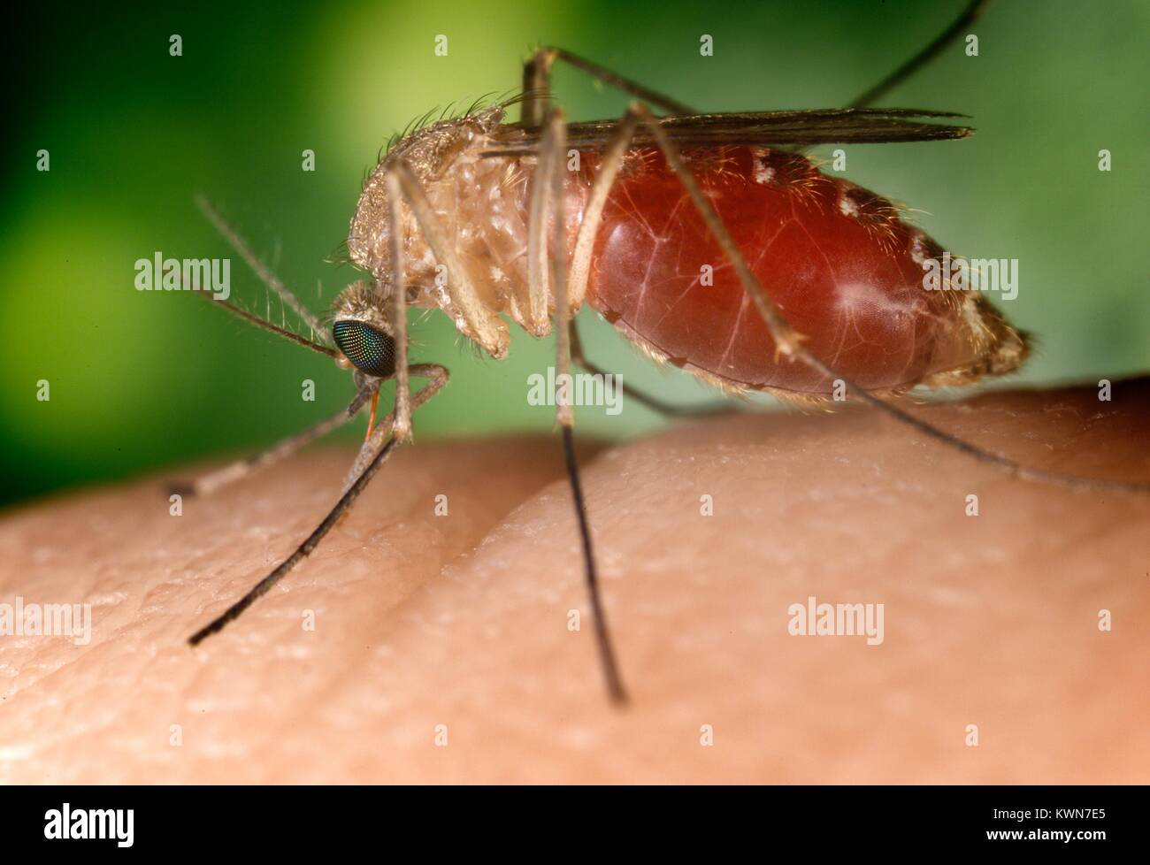 Conocido como un vector del virus del Nilo Occidental, este mosquito Culex quinquefasciatus ha aterrizado en un Imagen De Stock
