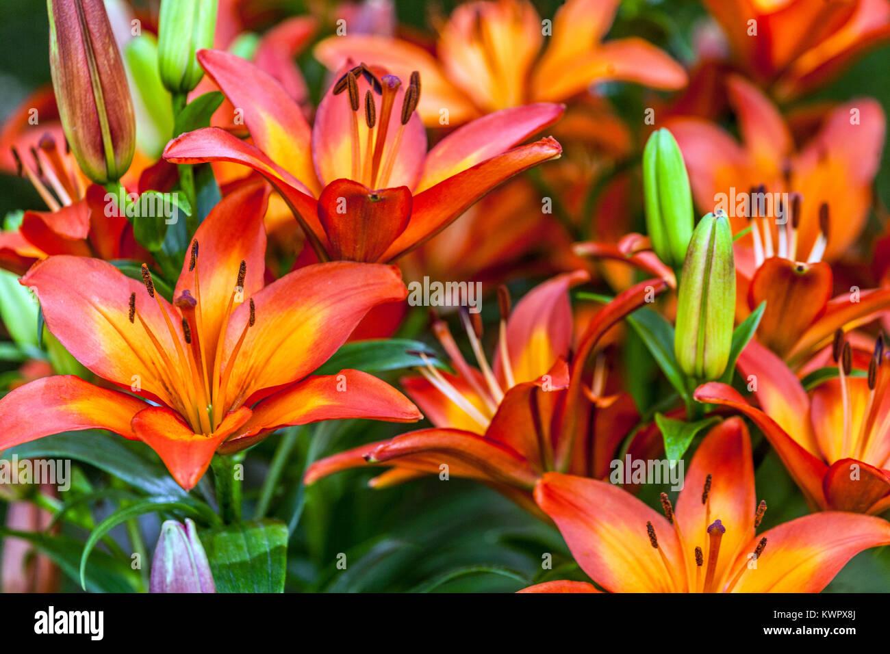 Lily, lilium, Lilium Fiamma Foto de stock