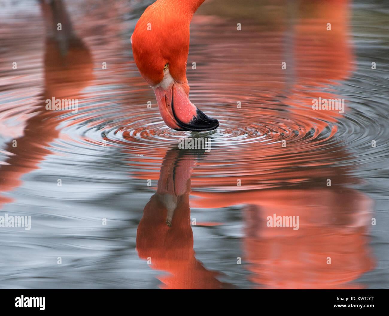 Dresden, Alemania. El 4 de enero, 2018. Un flamenco bebe agua de un estanque en el Flamingo receptáculo en Imagen De Stock