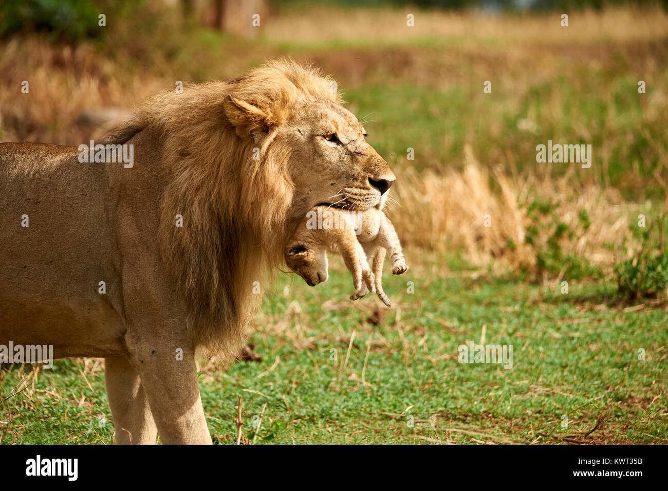León macho llevando uno de sus cachorros Imagen De Stock