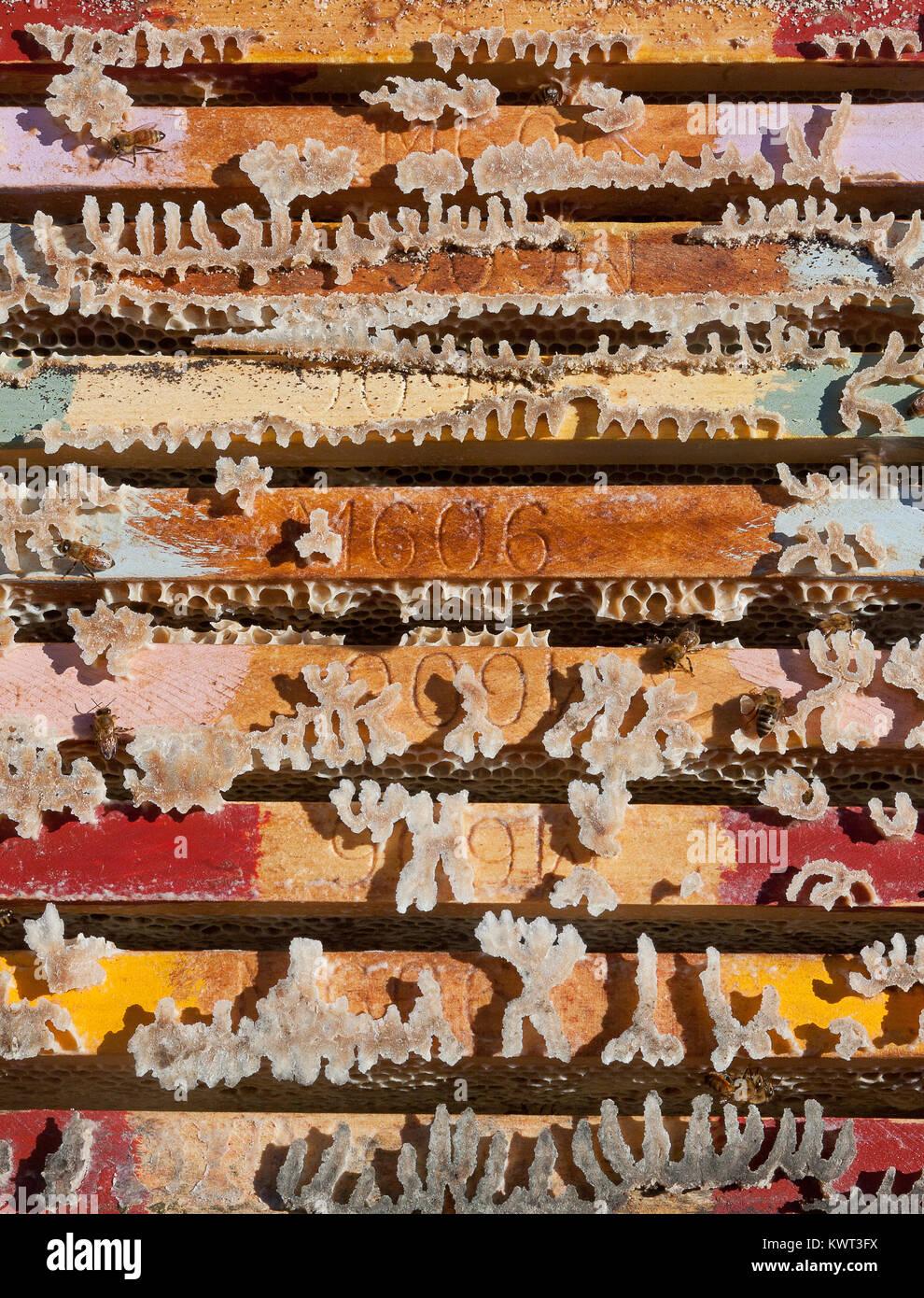 Colmena coloridos fotogramas cargados con Active Jellybush (miel Manuka), Evans Head, NSW, Australia Imagen De Stock