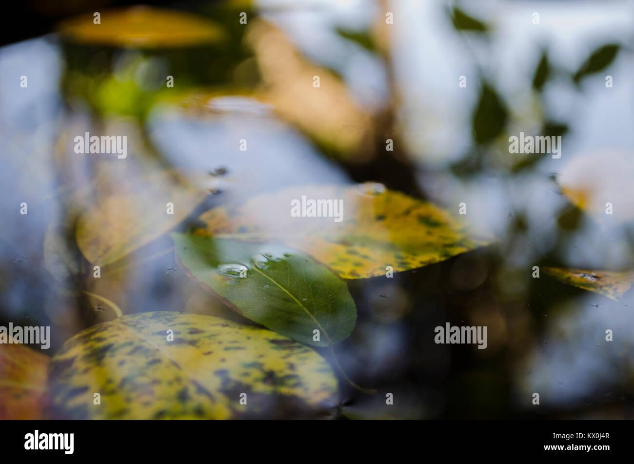 Flotando en el charco amarillo hojas de los árboles y el reflejo de un árbol, el otoño Foto de stock