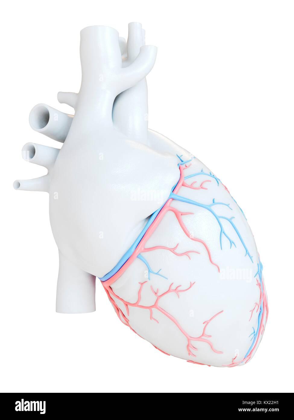 Corazón humano con vasos sanguíneos coronarios, ilustración Foto ...
