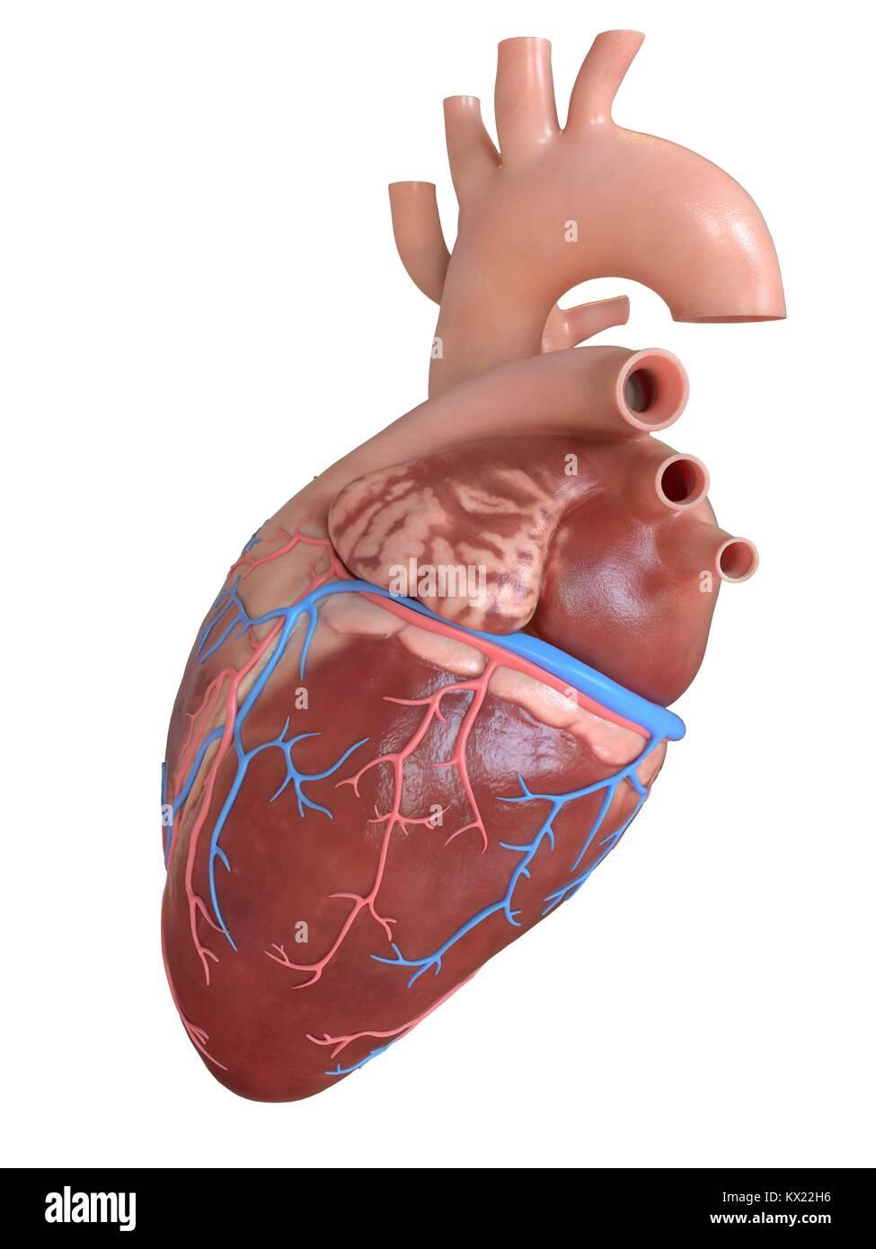 Corazón humano con venas y arterias coronarias, ilustración Foto ...
