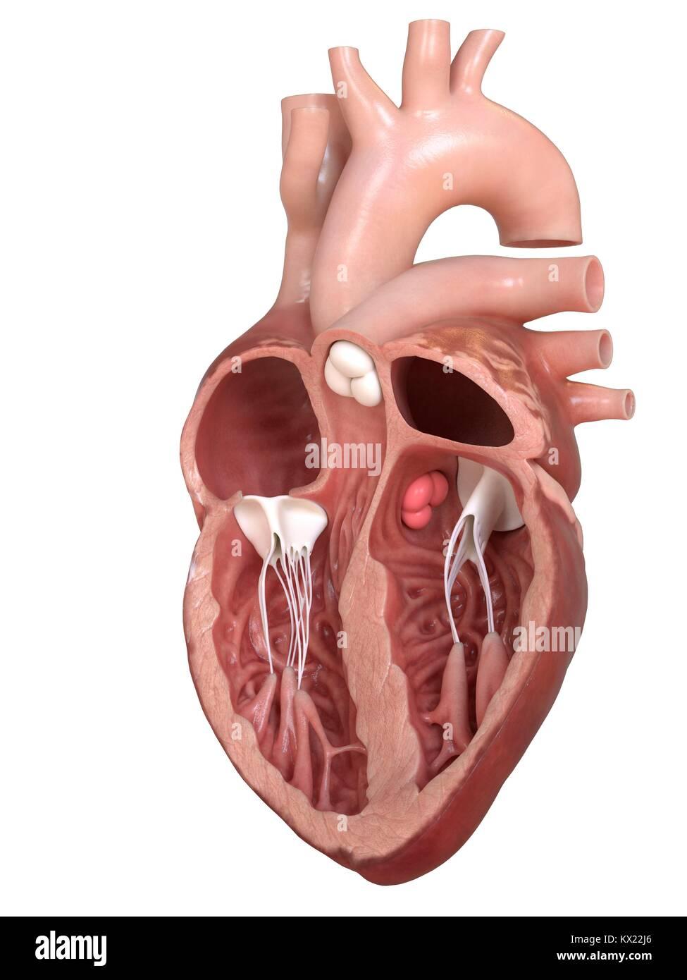 Corazón humano mostrando las válvulas, ilustración de la sección ...