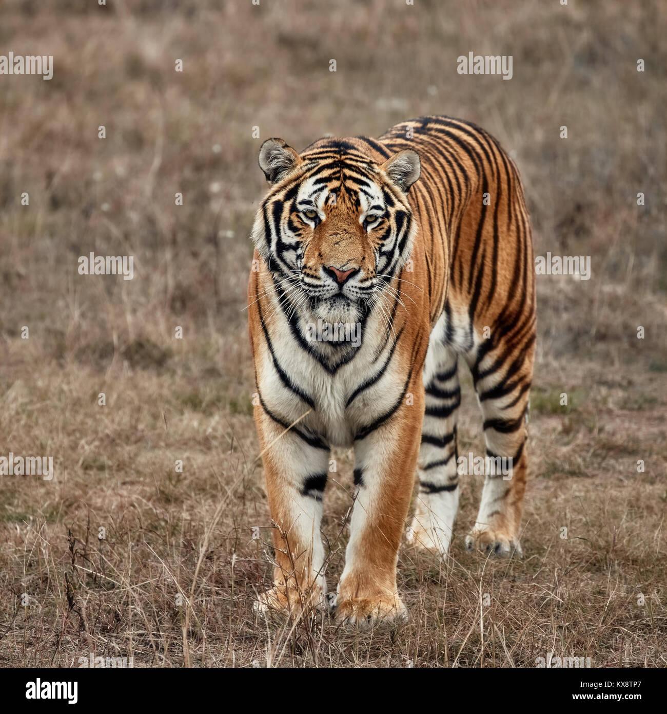 Tigre Imagen De Stock