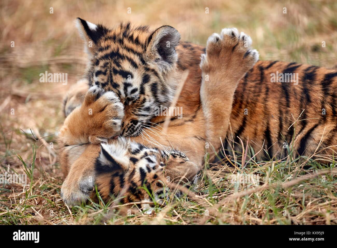 Cute little Tiger cubs jugando en el césped Foto de stock