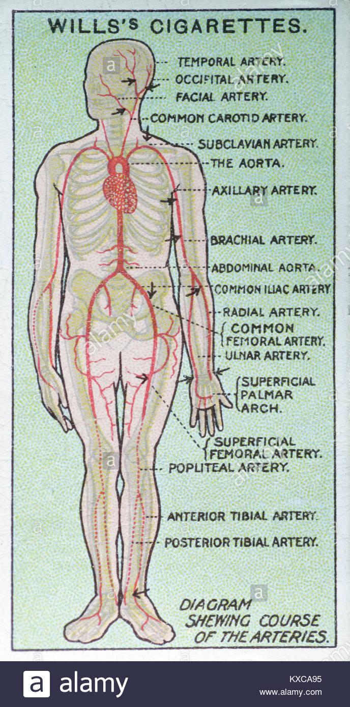 Artery Diagram Imágenes De Stock & Artery Diagram Fotos De Stock - Alamy