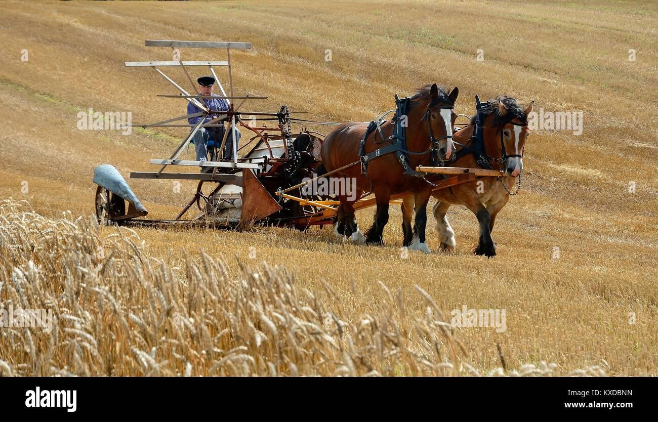 Cosecha nostálgico con caballos, granja, Slimminge Stubbarp, Scania, Suecia Imagen De Stock
