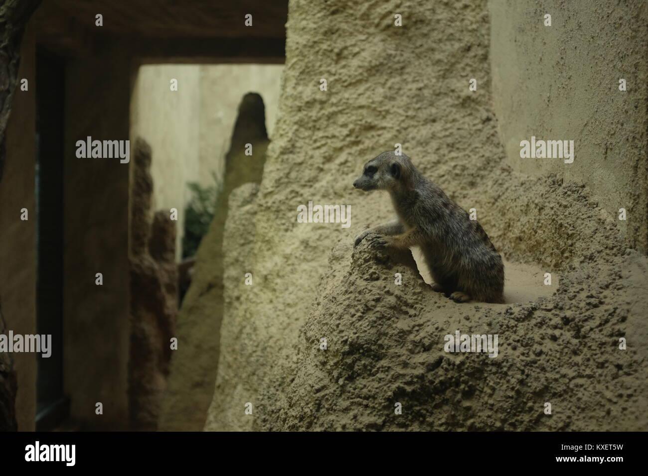 Suricata o relajarse en el Zoo de Berlín Imagen De Stock