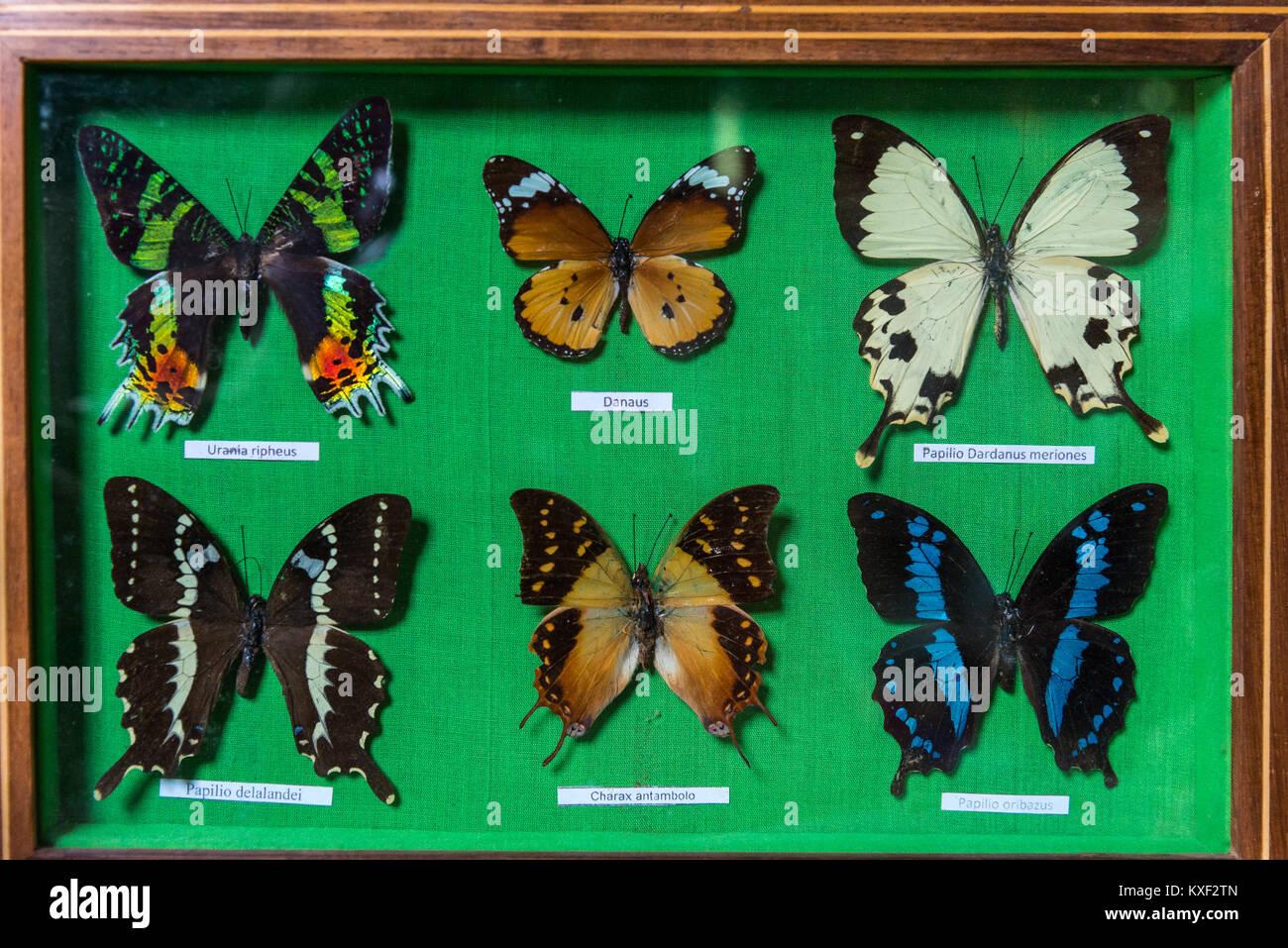 Enmarcado espécimen de coloridas mariposas para vender en una tienda ...