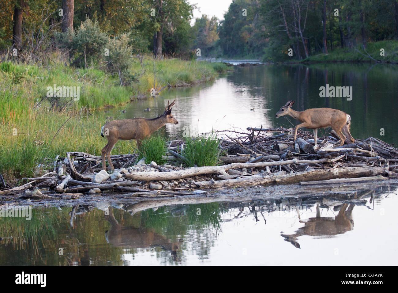 El venado bura doe y buck caminando a través de Beaver Dam (Odocoileus hemionus) Imagen De Stock