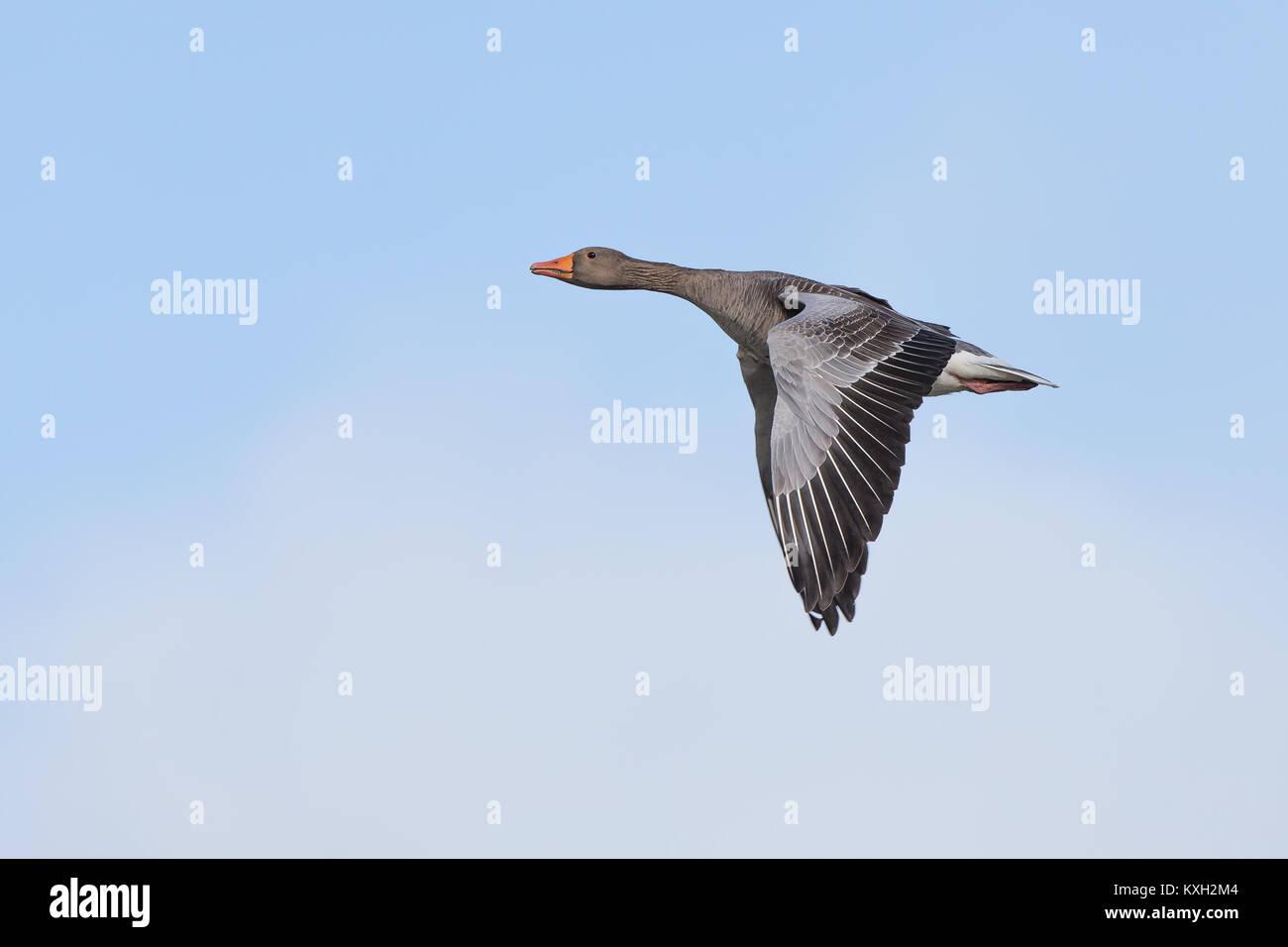 Solo graylag goose (Anser anser) en vuelo en claro, azul cielo. Cuello estirado, volando hacia arriba, las alas Imagen De Stock