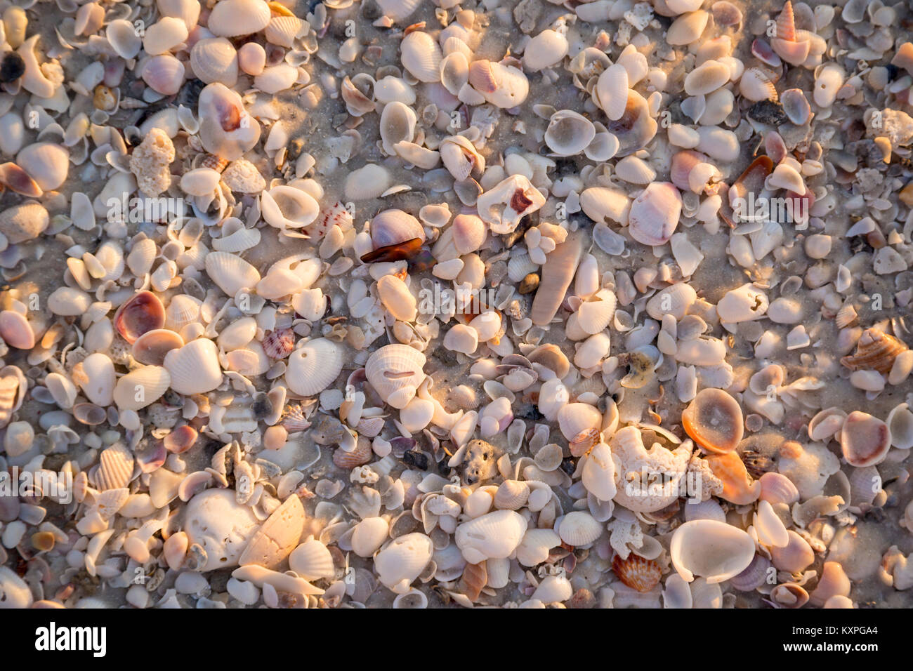 Conchas de Mar en una playa de arena fina, Barefoot Beach, Naples, Florida, EE.UU. Foto de stock