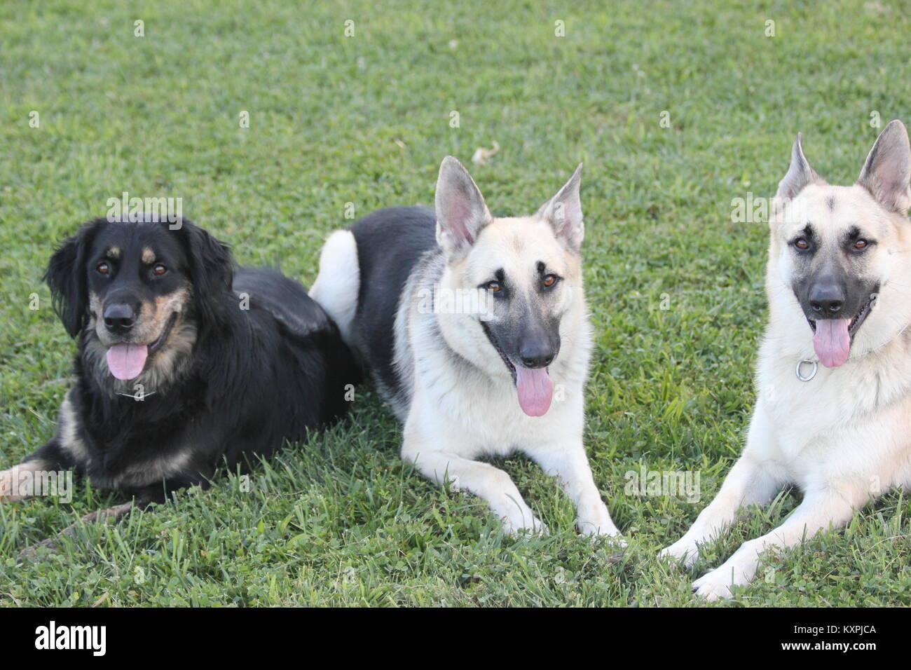 Los tres perros Rey Foto de stock