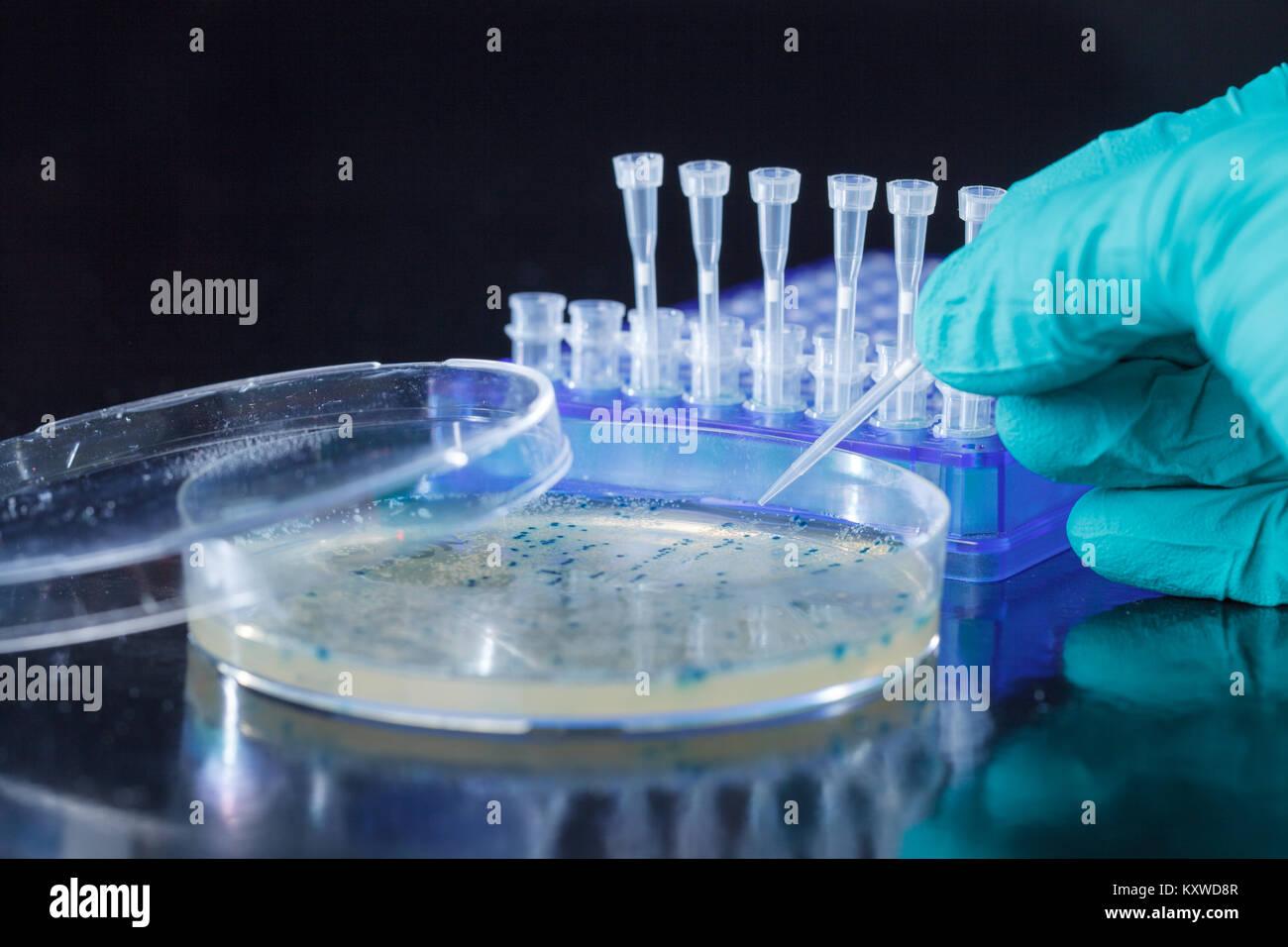 Scientist mano recoge las colonias de bacterias para la clonación de vector transgénico en el ADN plasmídico Foto de stock