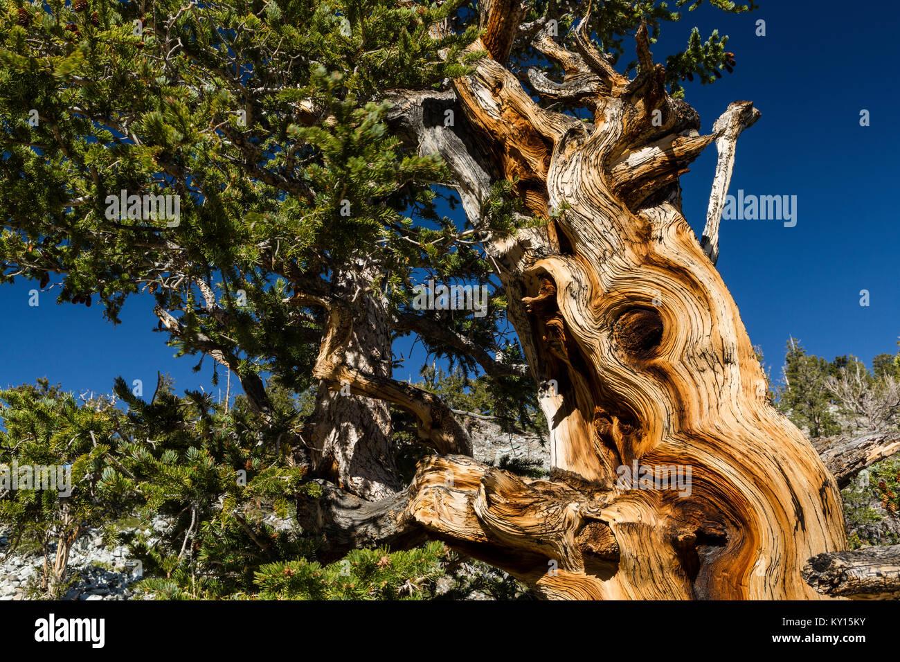 Great Basin Bristlecone Pine (Pinus longaeva) en el Parque Nacional de la Gran Cuenca, Nevada Foto de stock