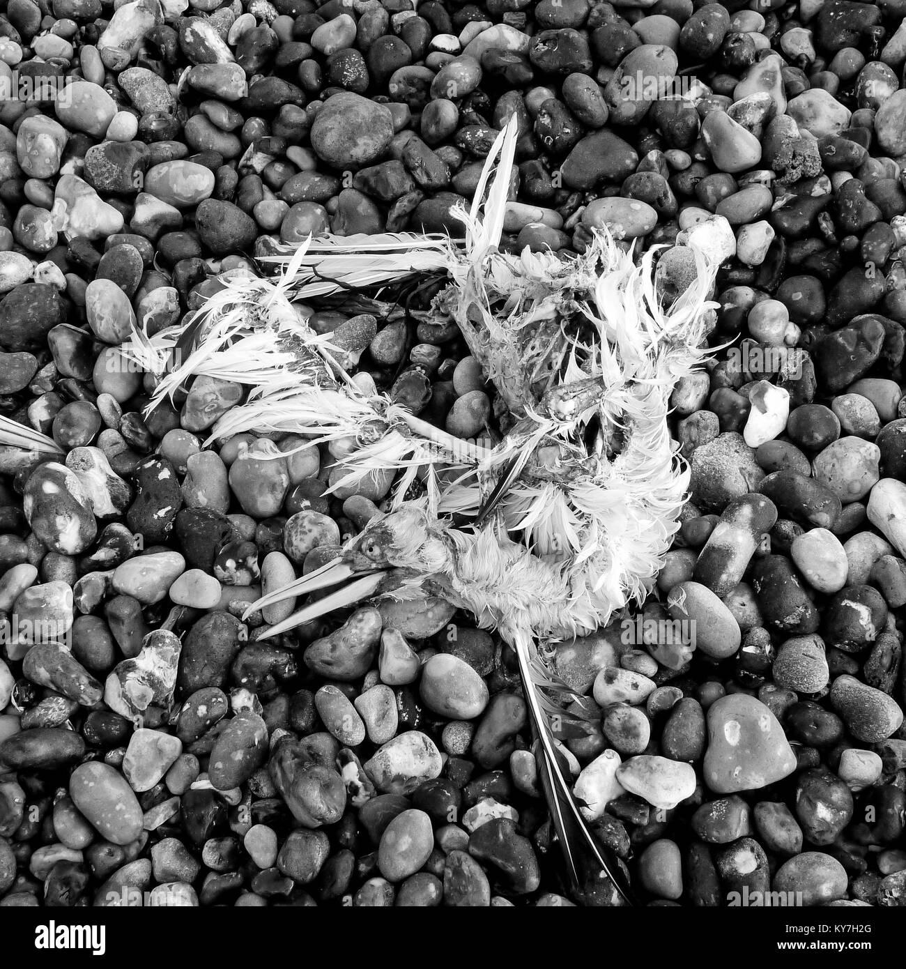 Restos de un muerto Norte de Gannett, Le Treport beach, Normandía, Francia Foto de stock