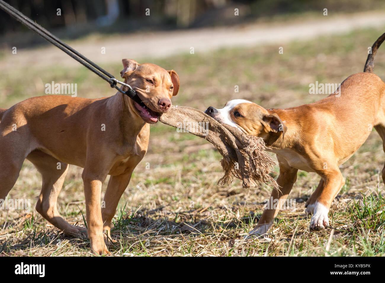 Dos cachorros (Trabajo Pit Bulldog & American Pit Bull Terrier) jugando y tirando con un juguete en un soleado Imagen De Stock