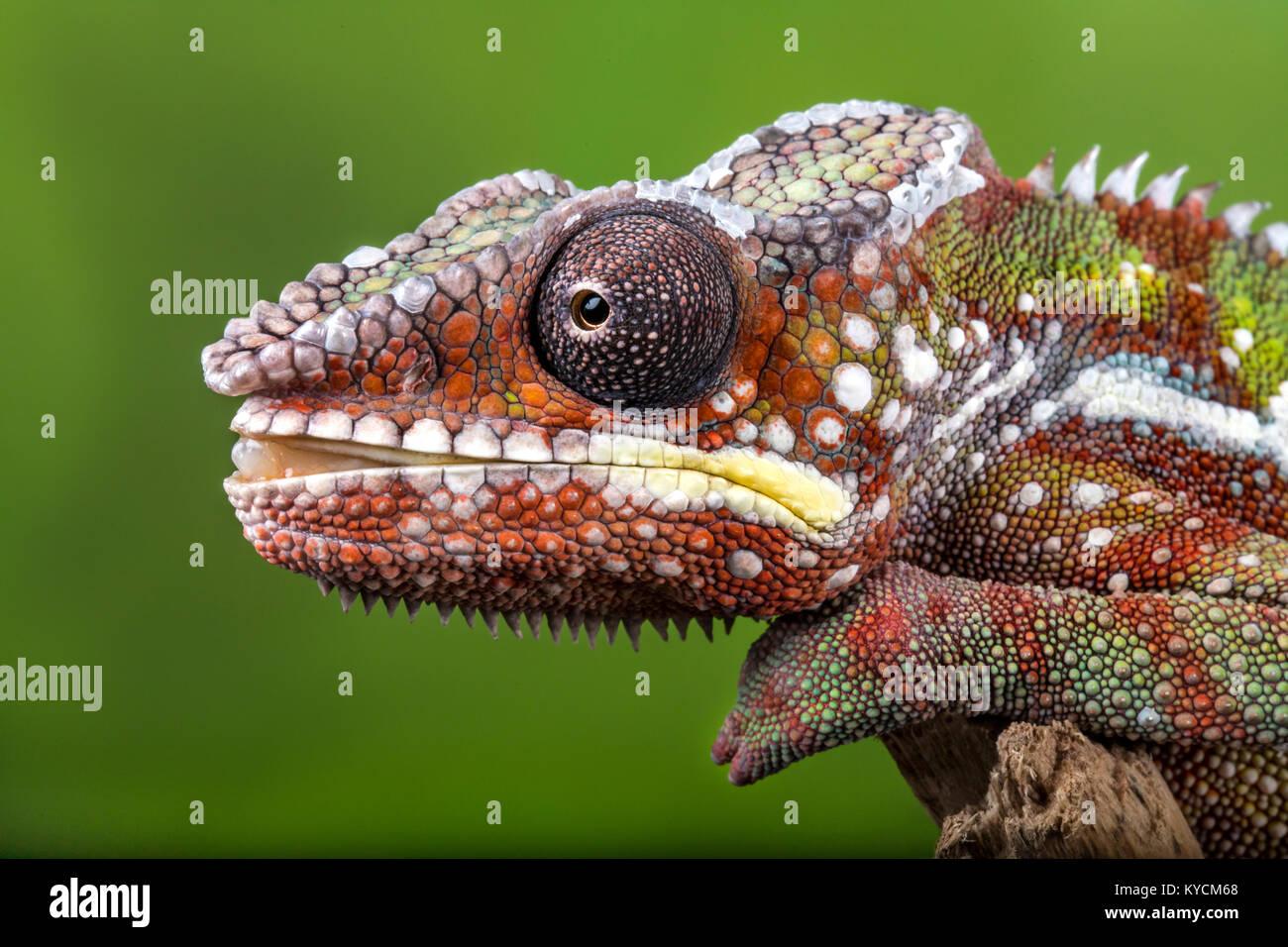 Un colorido camaleón pantera deseando y acerca a la huelga con la tounge. Imagen De Stock