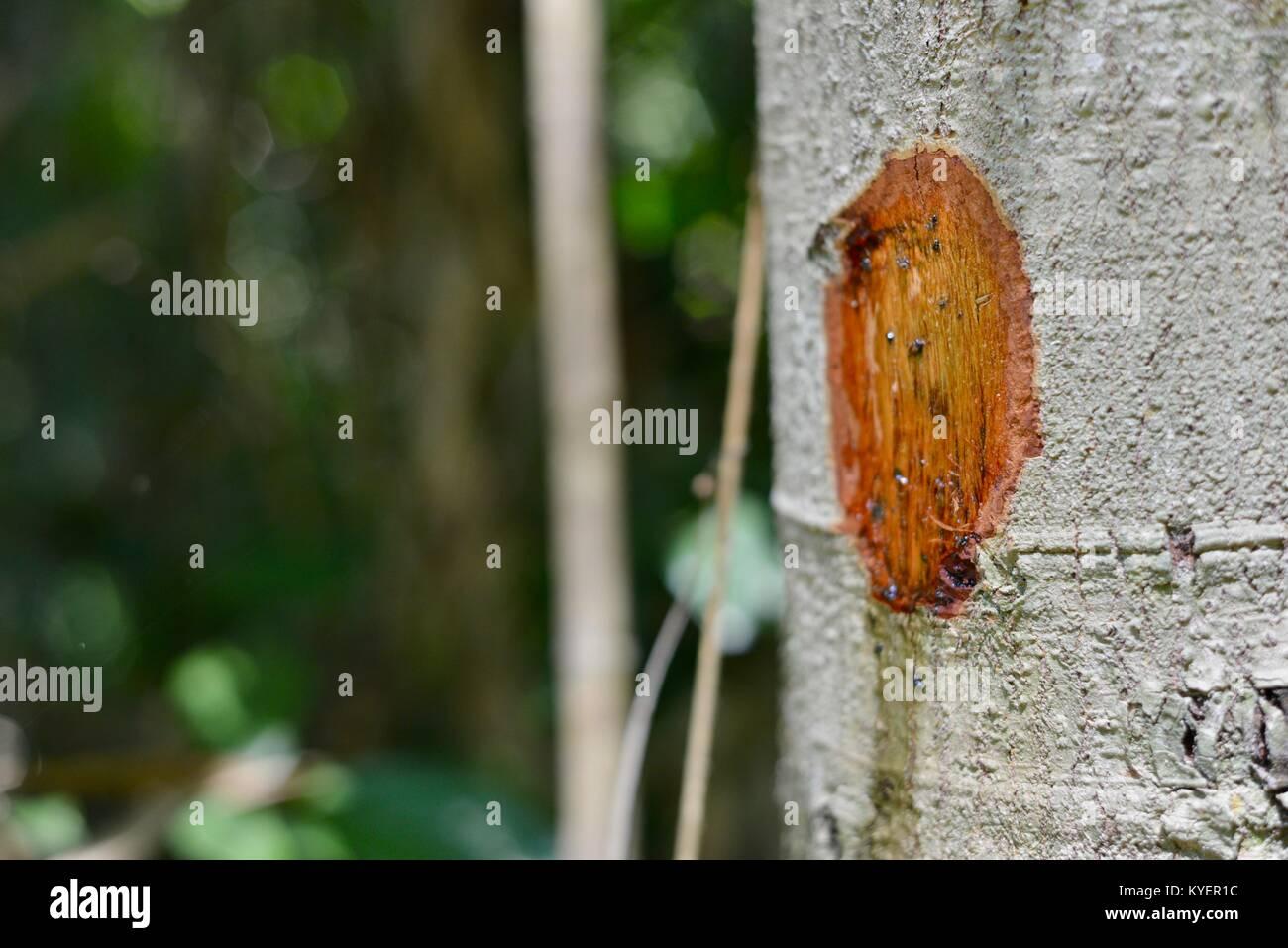 Derechos lesiones infligidas en árbol, de corteza afeitada, filtraciones de SAP, Finch Hatton Gorge, Queensland, Australia Foto de stock
