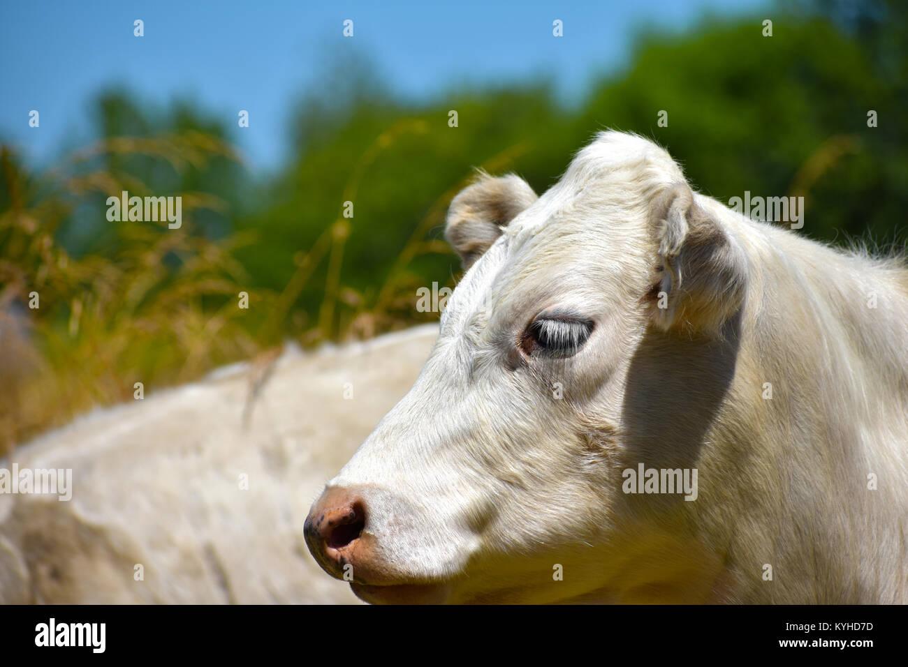 La cara de un toro blanco mostrando el perfil con un fondo difuminado suave de pastos altos y árboles de hoja perenne. Foto de stock