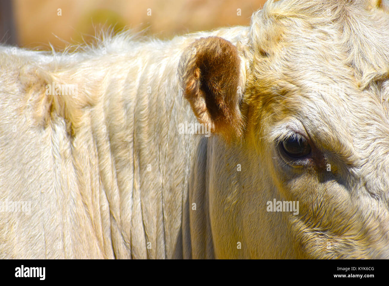Bull vaca con cerrar los detalles del ojo y del oído. Foto de stock