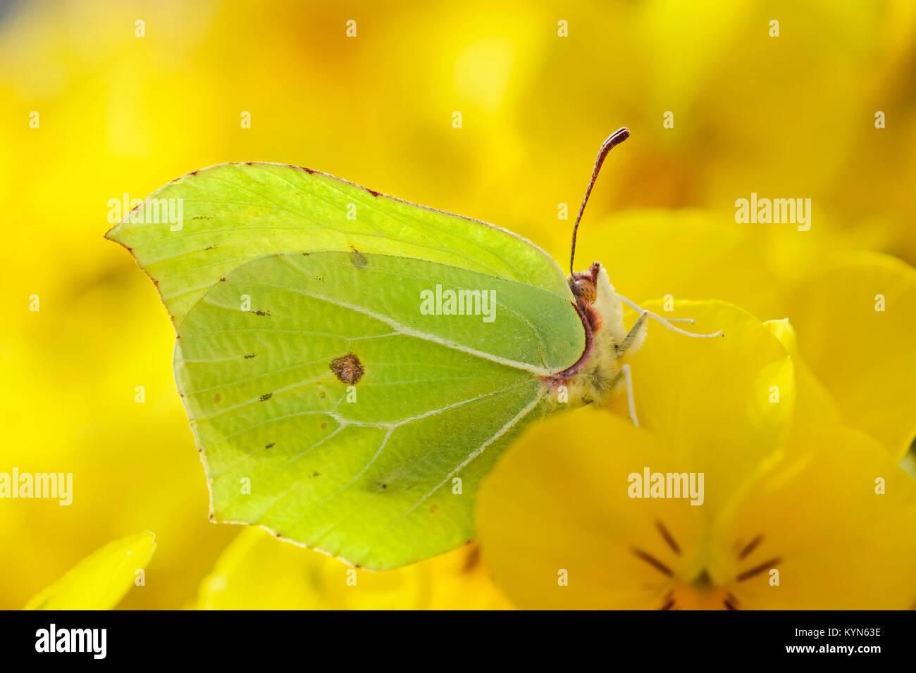 Brimstone Butterfly descansando sobre pansy - Gonepteryx rhamni amarillo Imagen De Stock