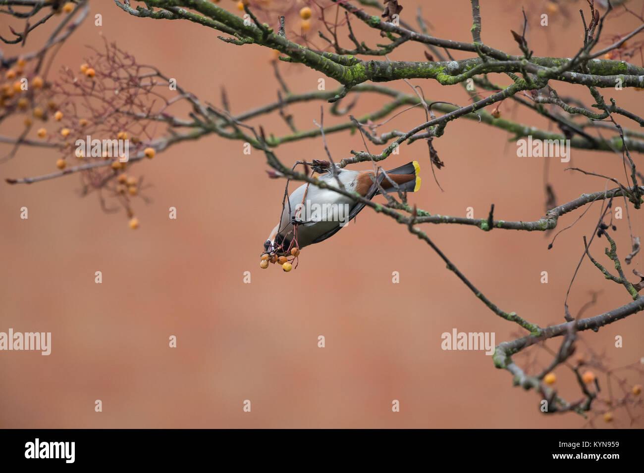 Impresionante captura de un solo adulto waxwing Bombycilla garrulus) (colgado boca abajo, afanosamente alimentándose Imagen De Stock