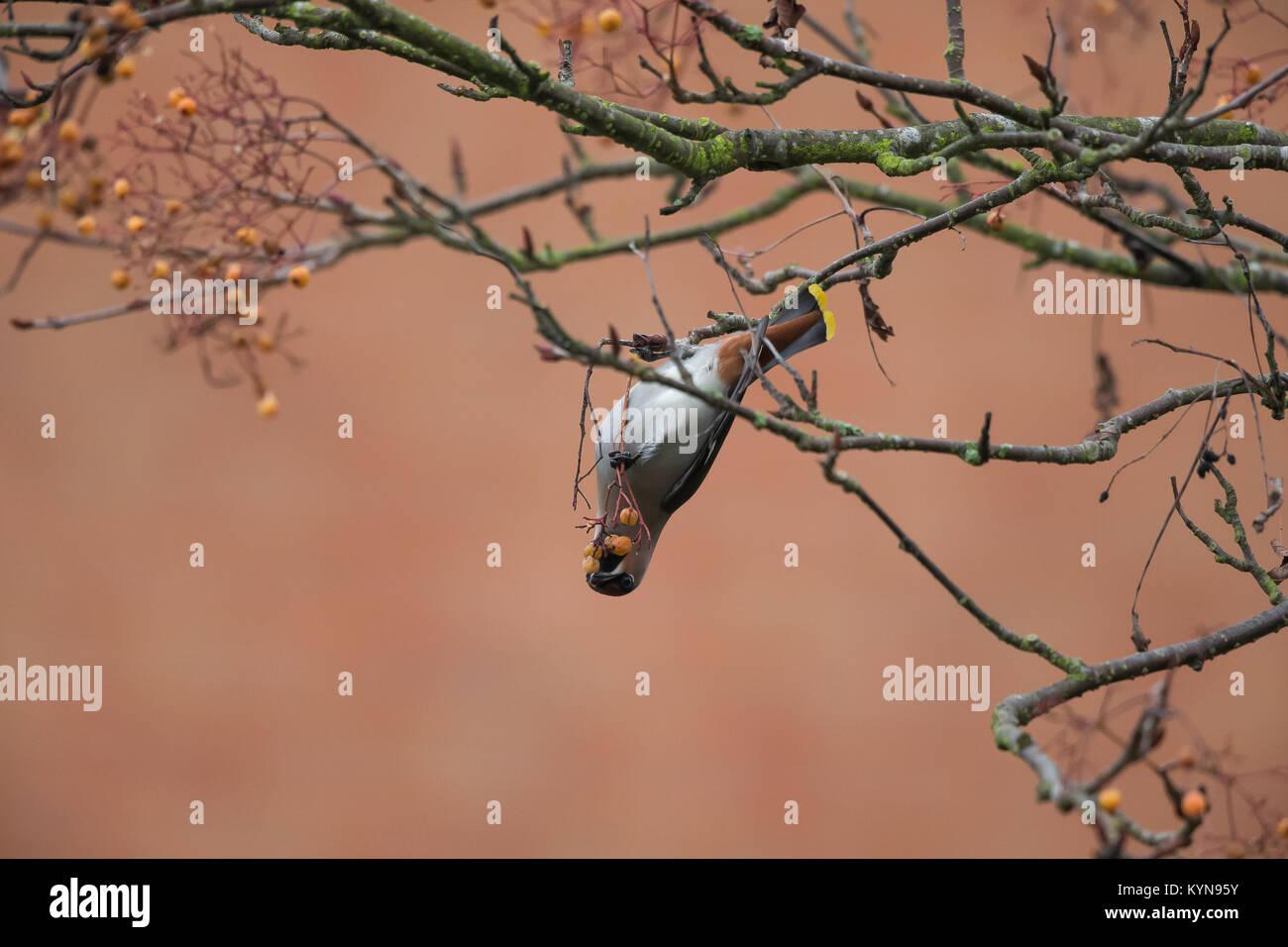 Impresionante captura de uno hambriento, adulto (waxwing Bombycilla garrulus) colgando boca abajo, afanosamente Imagen De Stock