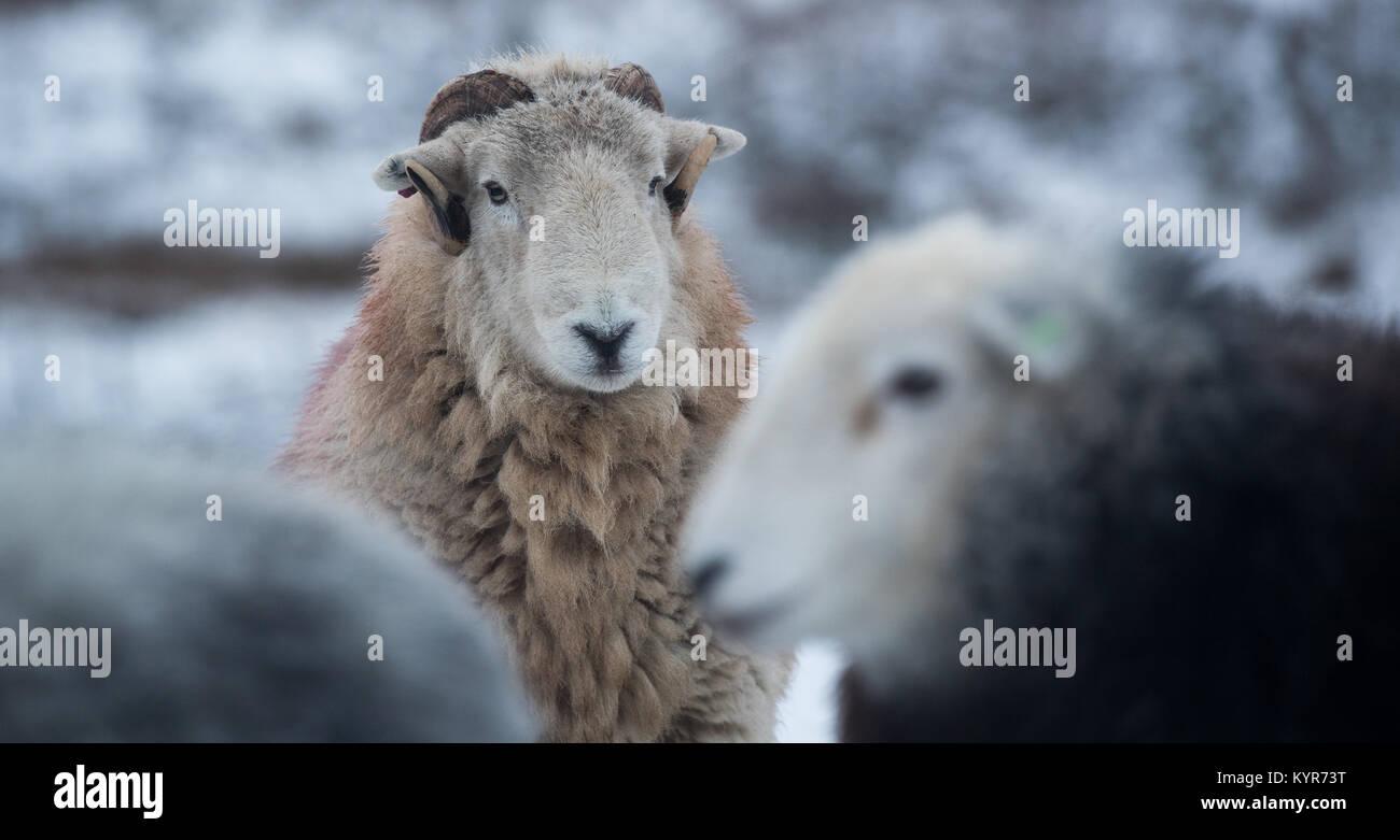 Ovejas Herdwick, colina tradicional raza de Cumbria, en tiempo de nieve, Cumbria, Reino Unido Imagen De Stock